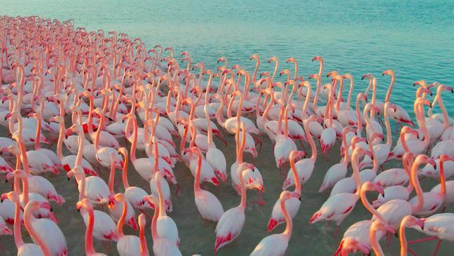 В Мангистау запретили тревожить фламинго съемками с дрона